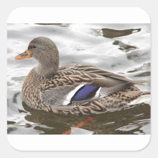 Mallard Duck Female Square Sticker