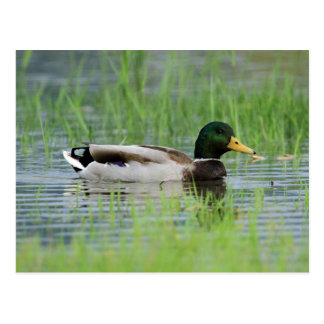 Mallard duck in a pond postcard