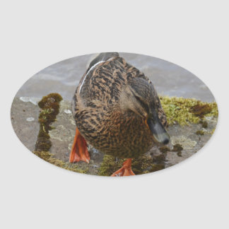 Mallard Duck Oval Sticker