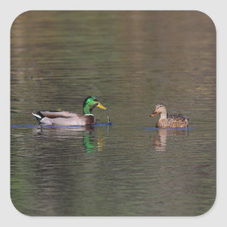 Mallard duck pair square sticker