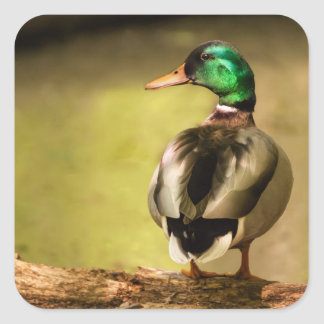 Mallard Duck Square Sticker