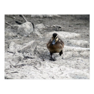 Mallard Duckling 9043 Postcard
