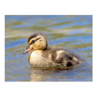 Mallard Duckling Postcard