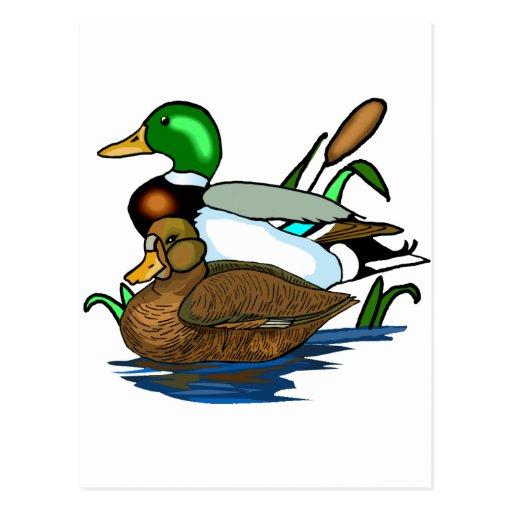 Mallard ducks postcard