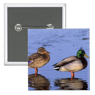 Mallard pair Canada, north america 15 Cm Square Badge