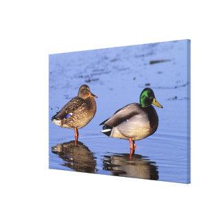 Mallard pair Canada, north america Stretched Canvas Print
