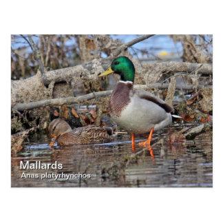 Mallard Postcard