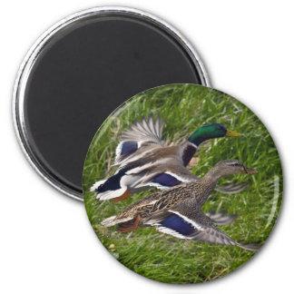 Mallards Flying 6 Cm Round Magnet