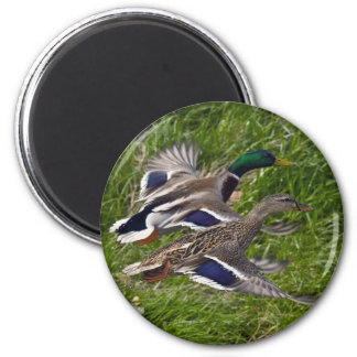 Mallards Flying Fridge Magnet