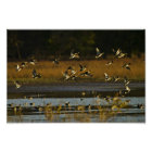 Mallards rising from water poster