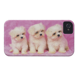 Maltese Dog; is a small breed of white dog iPhone 4 Cases