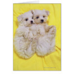 Maltese Dog; is a small breed of white dog that 2