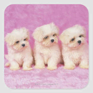 Maltese Dog; is a small breed of white dog that Square Sticker