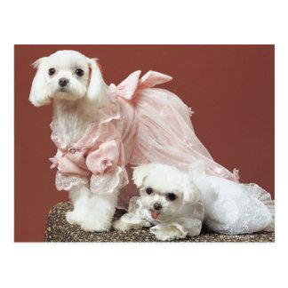 Maltese Dogs Postcard