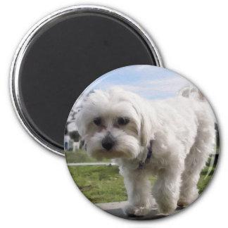 Maltese Magnet