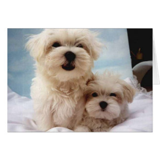 Maltese Puppies Card