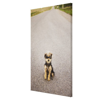 Maltese, Yorkshire terrier mix. Alberta, Canada Canvas Print