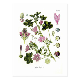 Malva silvestris post cards