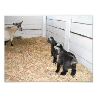 Mama Goat giving her Two Kids the Mom Look Photo Art