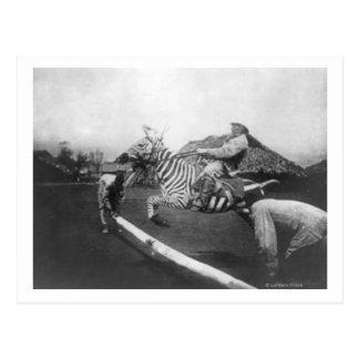 Man Riding Zebra Jumping Fence Photograph Postcard
