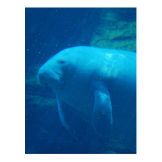 Manatee Floating  Postcard
