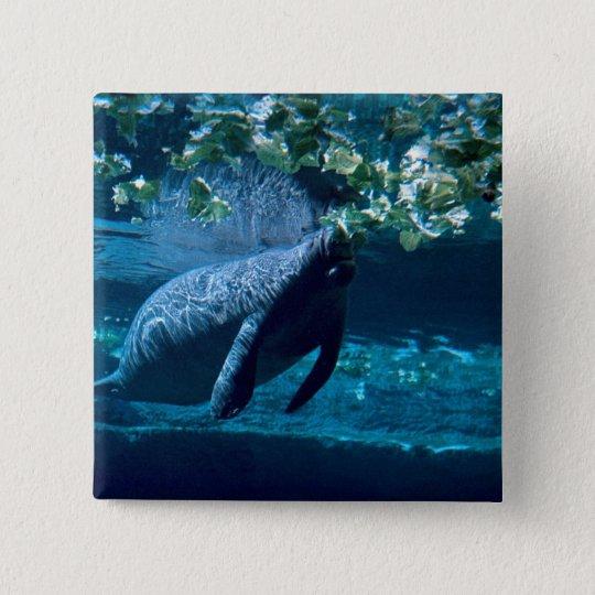 Manatee, Lowry Park Zoo, Tampa Bay, Florida, U.S.A 15 Cm Square Badge