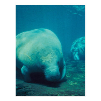 Manatee Photo Postcard