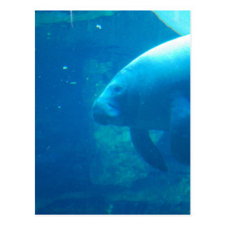 Manatee Underwater Postcards