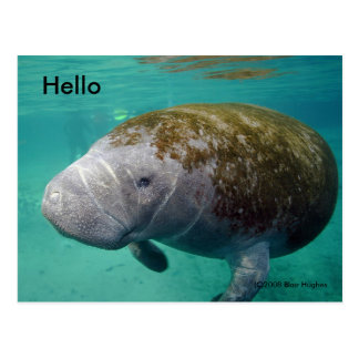 "Manatee Up close 0258 ""Hello"" Post Card"