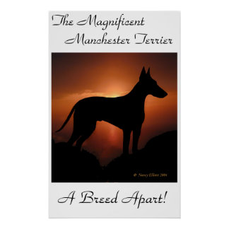 Manchester Terrier Unique Poster