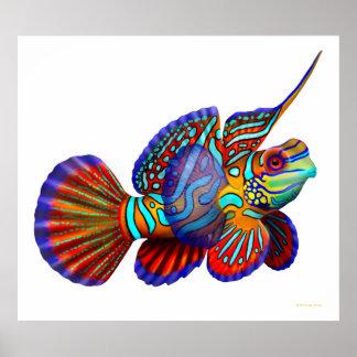 Mandarin Dragonet Goby Fish Poster