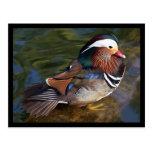 Mandarin Duck Post Card