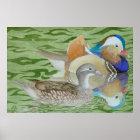 Mandarin Ducks on a lake Poster