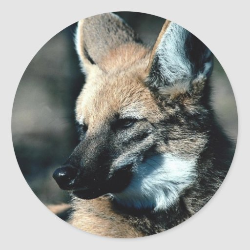 Maned wolf, close-up stickers
