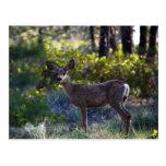 Mangy Mule Deer Post Cards
