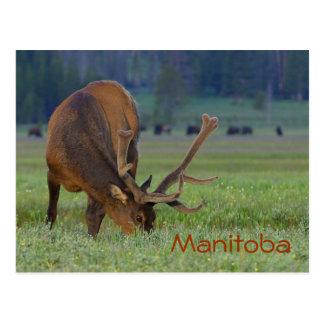Manitoba elk postcard