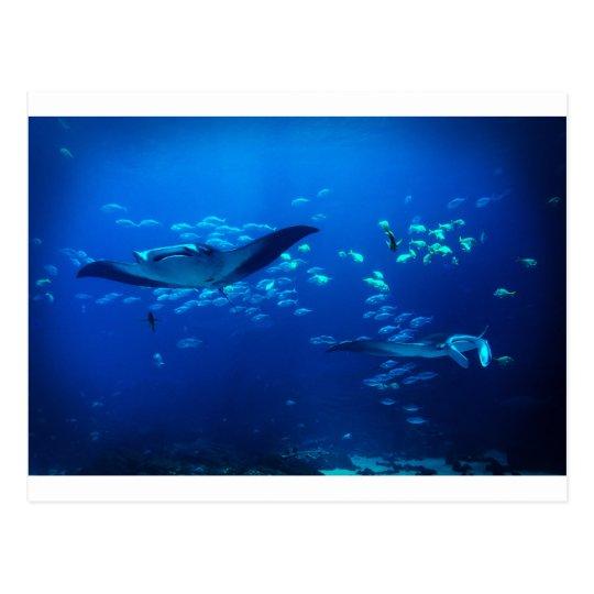 Manta Rays Postcard