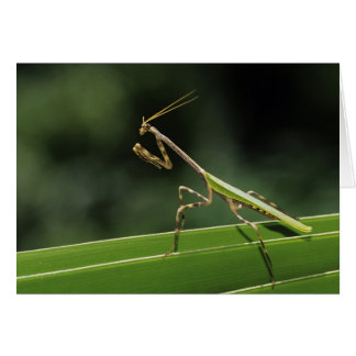 Mantid, Mantidae, adult on palm frond, The Inn Card