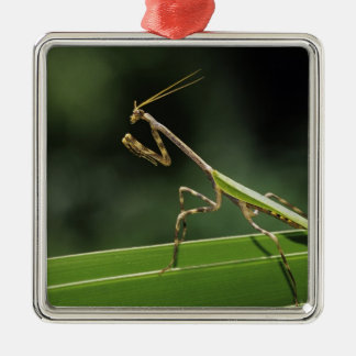 Mantid, Mantidae, adult on palm frond, The Inn Christmas Ornament