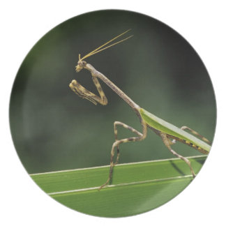 Mantid, Mantidae, adult on palm frond, The Inn Dinner Plates