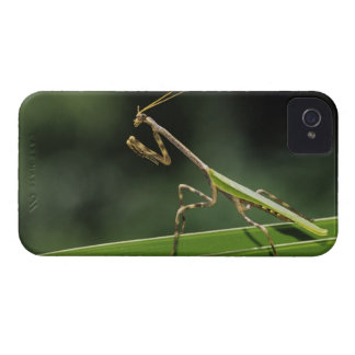 Mantid, Mantidae, adult on palm frond, The Inn iPhone 4 Cover