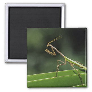Mantid, Mantidae, adult on palm frond, The Inn Magnet