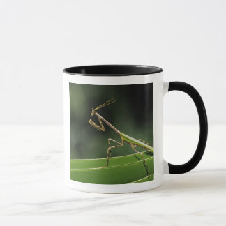 Mantid, Mantidae, adult on palm frond, The Inn Mug