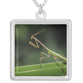 Mantid, Mantidae, adult on palm frond, The Inn Silver Plated Necklace