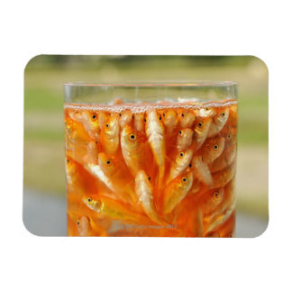 Many goldfish which are in the glass container rectangular photo magnet