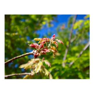 Maple Buds Postcard