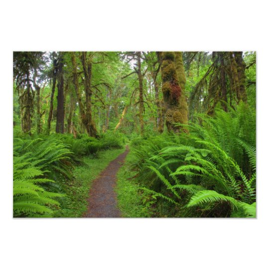 Maple Glade trail, ferns and moss covered Photo Print