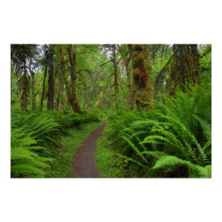 Maple Glade trail, ferns and moss covered Posters