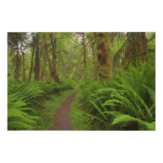 Maple Glade trail, ferns and moss covered Wood Print