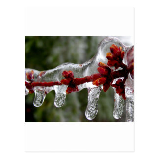 maple ice buds postcards